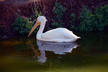 A single white pelican swimingh towards the shore photo