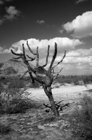 cholla: Dead cholla cactus central Arizona desert black and white Stock Photo