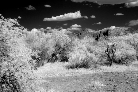 infra red: Serene and ancient trees in a forest