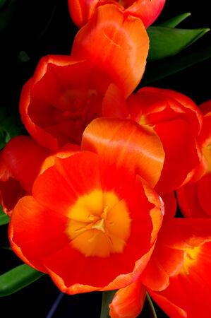 Orange tulips isolated over a black background