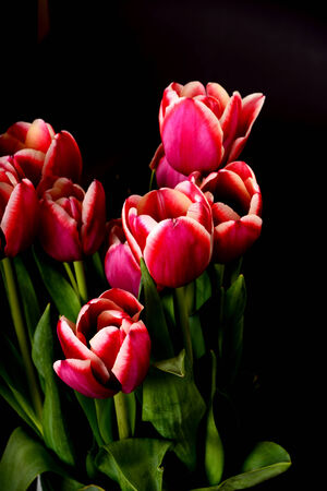 Crimson and white tulips isolated over a black background