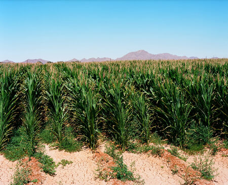 irrigated: Irrigated corn field in the south west USA desert Stock Photo