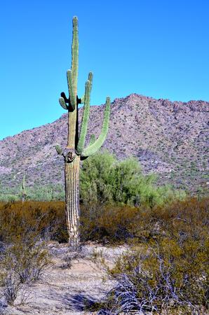 sonora: The Sonora desert in central Arizona USA