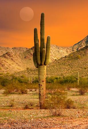 cholla cactus: Saguaro Cactus cereus giganteus in Arizona desert