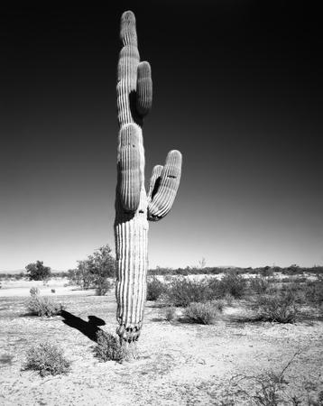 cereus: Saguaro Cactus cereus giganteus in Arizona desert