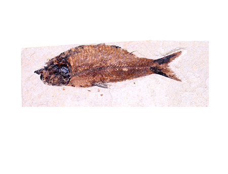 carboniferous: Ancient fish fossil in rock from 300 million years ago