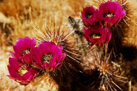 hog: Flowering Hedge Hog cactus in the spring Arizona desert Stock Photo