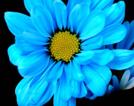 Closeup blue daisy isolated over black background