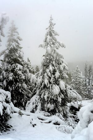 douglas: Douglas Fir covered in snow storm Yellowstone National Park Stock Photo