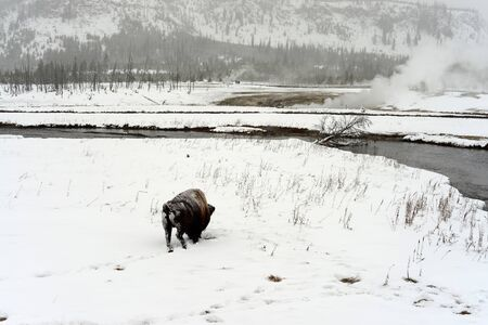 migrate: American bison bull in snowing Yellowstone National Park in winter