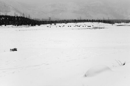 snowing: American bison herd in snowing Yellowstone National Park in winter