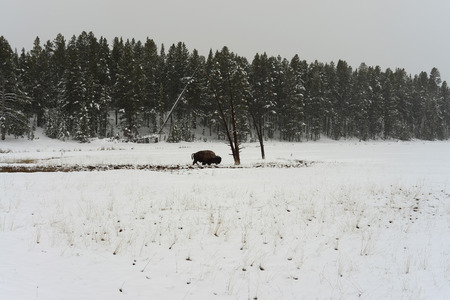 American bison bull in snowing Yellowstone National Park in winter