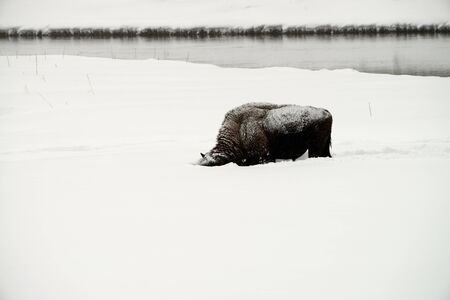 migrate: Lone American bison bull in snowing Yellowstone National Park in winter