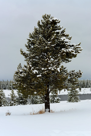 イエローストーン国立公園の雪で覆われたダグラスもみ 写真素材