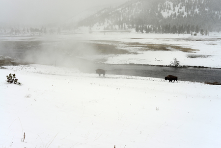 migrate: American bison in snowing Yellowstone National Park in winter