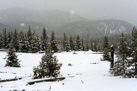 douglas: Douglas Fir covered with snow in Yellowstone National Park