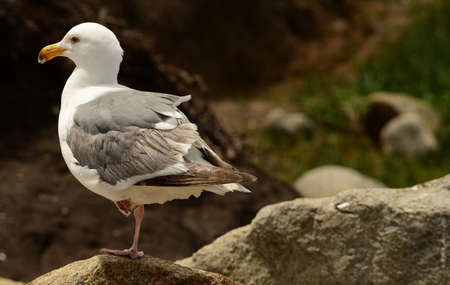 western usa: Western USA seagull standing on one leg Stock Photo