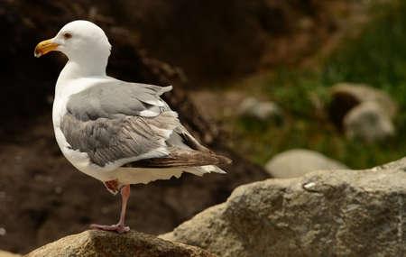 western usa: Western USA seagull standing on one leg Stock Photo
