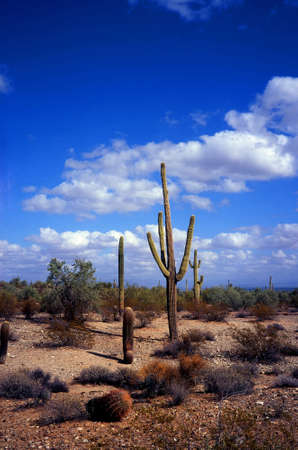 sonora: Saguaro Cactus cereus giganteus in Arizona Sonora desert Stock Photo