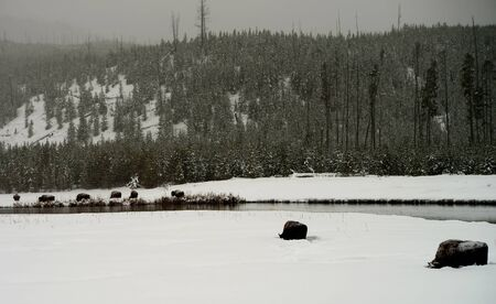 migrate: American bison herd in snowing Yellowstone National Park in winter