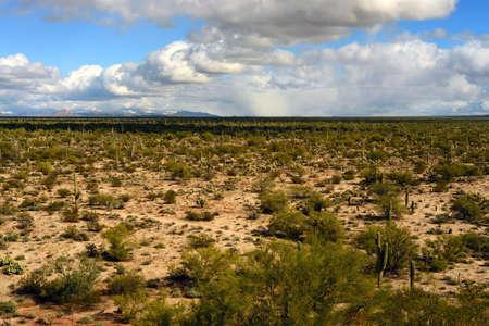 cholla: The Sonora desert in central Arizona USA