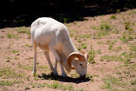 rocky mountain bighorn sheep: Dall ram mountain sheep feeding in mountain meadow.