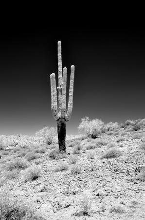 Infrared Saguaro Cactus cereus giganteus in Arizona Sonora desert