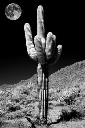 Saguaro Cactus cereus giganteus in Arizona Sonora desert with full moon in infrared Stock Photo