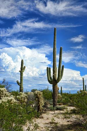 Saguaro Cactus cereus giganteus in Arizona Sonora desert Stock fotó