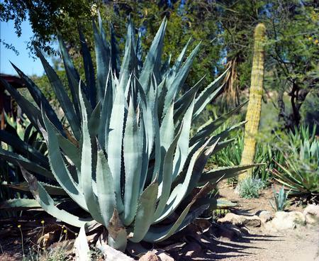 Century plant cactus in the Arizona Sonora desert