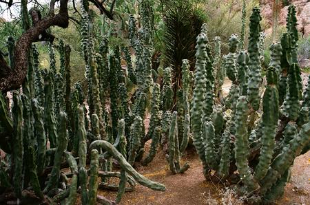 Montrose Totem Pole Cactus garden