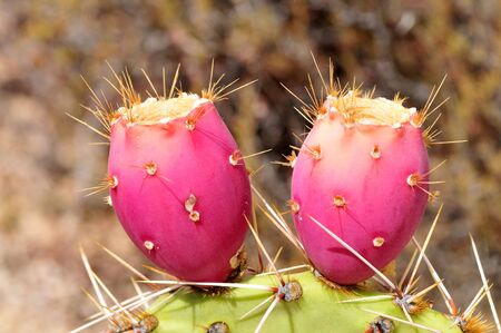Large red and ripe prickly pear cactus fruit, cactus apples