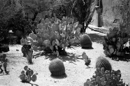 Prickly pear and variety of cactus in the Arizona Sonora desert cactus garden