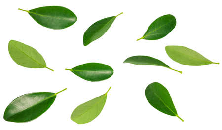 herb leaves isolated on white background.