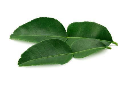 bergamot leaf isolated on a white background. Archivio Fotografico