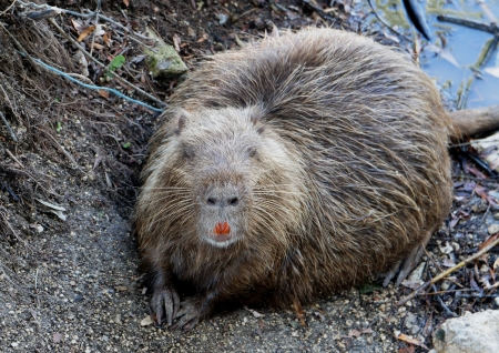 muskrat: muskrat sits on the bank of the lake Stock Photo