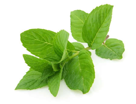 Fresh mint photo