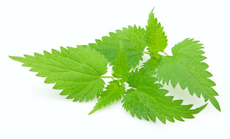 Young nettle on a white background photo