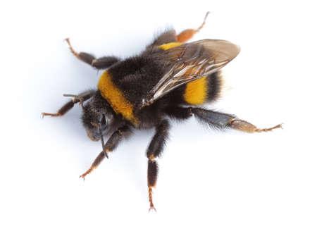 wasp: Bumblebee