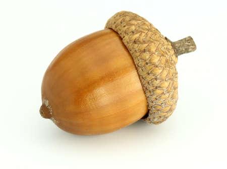 roble arbol: ACORN sobre un fondo blanco