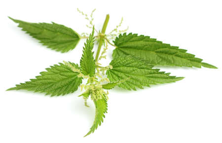 Nettle on a white background photo