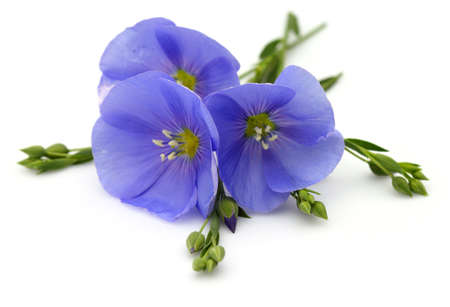Flowers of flax on a white background