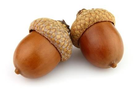 acorn nuts: Dried acorns in closeup