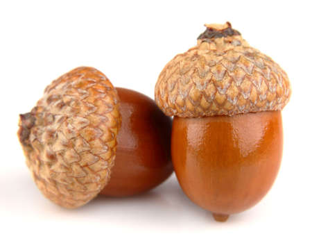Two acorns on a white background photo