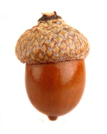 acorn: One dried acorn in closeup