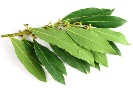 bay: Fresh bay leaves Stock Photo