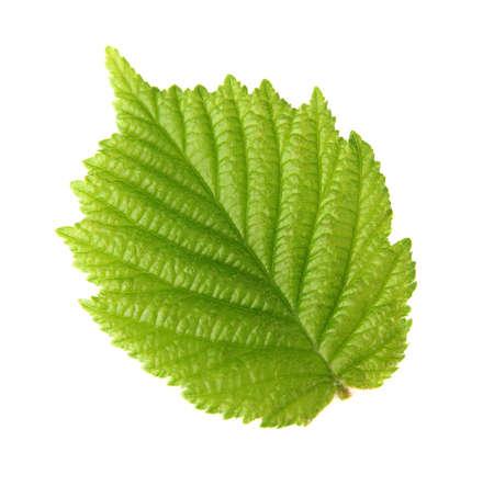 hazel nut: Leaf of hazelnut