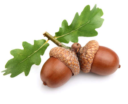 Dried acorns with leaves photo