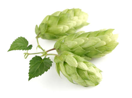 Hop plant in closeup photo