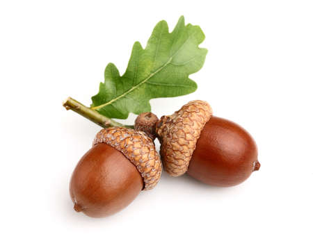 Dried acorns with leaf photo
